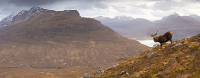 Scottish highlands, wild stag Royalty Free Stock Photography