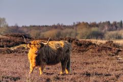 Scottish Higland cow. On the Moorlands of the Dutch Province of Drente, shot on a spring evening during magic hour Royalty Free Stock Photography