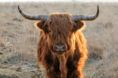 Free Scottish Higlander Or Highland Cow Cattle Royalty Free Stock Photography - 217881397