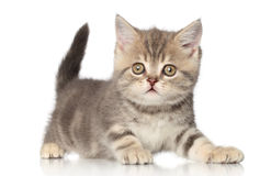 Scottish kitten Stock Photos