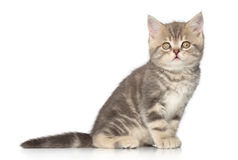 Scottish kitten Royalty Free Stock Photography