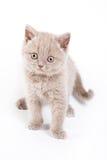 Scottish kitten Stock Images