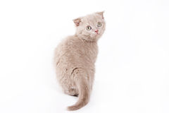 Scottish kitten Stock Photo