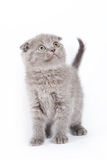 Scottish kitten Royalty Free Stock Photo