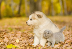 Scottish kitten and alaskan malamute puppy looking away in autumn park Royalty Free Stock Images