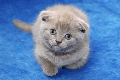 Scottish kitten on the bed Royalty Free Stock Image