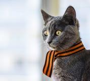 Scottish kitten Royalty Free Stock Photos