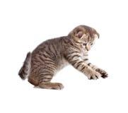 Scottish kitten catching something Royalty Free Stock Images