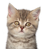 Scottish kitten. Close-up portrait Stock Images