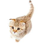 Scottish kitten fold isolated top view Royalty Free Stock Photo