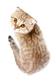 Scottish kitten fold isolated top view Stock Images