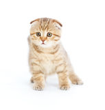 Scottish kitten fold pure breed staying isolated. Striped Scottish kitten fold pure breed staying four legs isolated Royalty Free Stock Photography