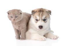 Scottish kitten hugging Siberian Husky puppy. isolated on white Stock Image
