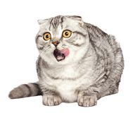 Scottish kitten licking. Portrait of a surprised cat Scottish Fold Straight, Scottish Fold in front of a white background.  Royalty Free Stock Photo