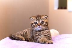 Scottish kitten lying on pink pillow at home Royalty Free Stock Image