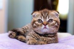 Scottish kitten lying on  pink pillow at home Stock Image