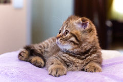 Scottish kitten lying on pink pillow at home Royalty Free Stock Photography