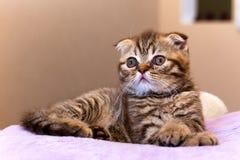 Scottish kitten lying on pink pillow at home Royalty Free Stock Photo