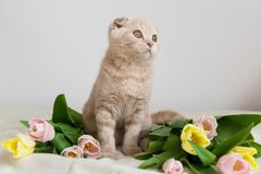 Scottish kitten portrait with tulips bouquet. Cat at home. Scottish Fold Cat. Cute Pet. Copy space. Banner, holidays, Mother`s Da royalty free stock images