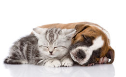 Scottish kitten and puppy sleeping together. isolated Royalty Free Stock Photo