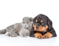 Scottish kitten and rottweiler puppy lying together. Focus on cat.  royalty free stock images