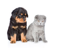 Scottish kitten and rottweiler puppy sitting together.  on white Royalty Free Stock Image