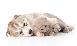 Scottish kitten and Siberian Husky puppy lying together.  Stock Photography