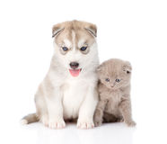 scottish kitten and Siberian Husky puppy sitting together. isolated Stock Images