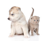 Scottish kitten and Siberian Husky puppy sitting together. isolated on white Stock Photos