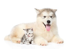 Scottish kitten sitting with Alaskan malamute puppy. isolated on. White background Stock Photos