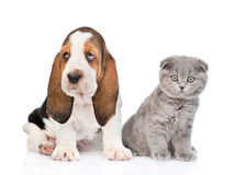 Scottish kitten sitting with basset hound puppy. isolated on white Stock Images