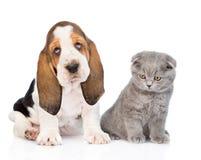Scottish kitten sitting with basset hound puppy. isolated on white Royalty Free Stock Image