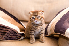 Scottish kitten sitting on chair between two pillows Stock Images