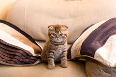 Scottish kitten sitting on a chair between two pillows Royalty Free Stock Photography