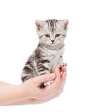 Scottish kitten sitting on a palm. isolated on white background Stock Photo