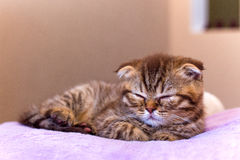 Scottish kitten sleeping on pink pillow at home Stock Image