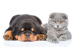 Scottish kitten and sleeping rottweiler puppy lying together. Isolated Royalty Free Stock Image
