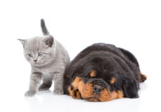 Scottish kitten and sleeping rottweiler puppy lying together. Isolated on white Stock Photos