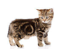 Scottish kitten standing in profile. isolated on white Stock Photo