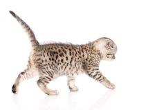 Scottish kitten walking. isolated on white background Stock Photo