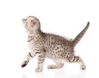 Scottish kitten walking. isolated on white background Royalty Free Stock Photography