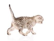 Scottish kitten walking. isolated on white background Royalty Free Stock Photos