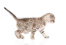Scottish kitten walking. isolated on white background Stock Photos