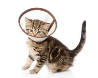 Scottish kitten wearing a funnel collar. isolated on white backg Royalty Free Stock Photo