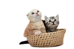 Scottish  kittens Stock Image