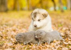 Scottish kittens and alaskan malamute puppy together in autumn p Royalty Free Stock Photo