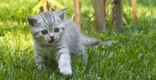 Scottish kittens. On a green grass Royalty Free Stock Images