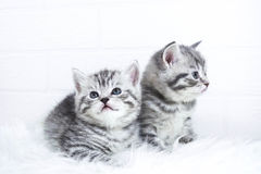 Scottish kittens Whiskas striped color portrait Royalty Free Stock Photos