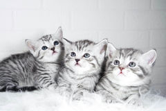 Scottish kittens Whiskas striped color portrait Royalty Free Stock Photography