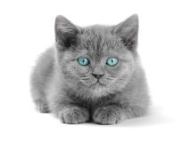Scottish Kitty Stock Images